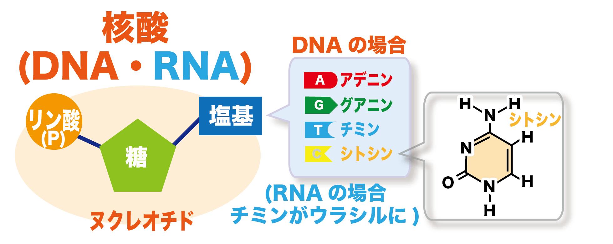 ゲノム 編集 遺伝子 組み換え 違い